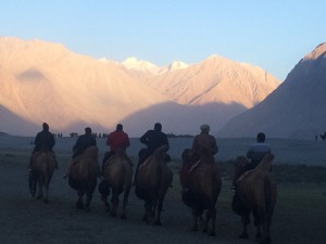 Camels on the dunes of Nubra